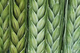 Green Barley Plus ingredineti